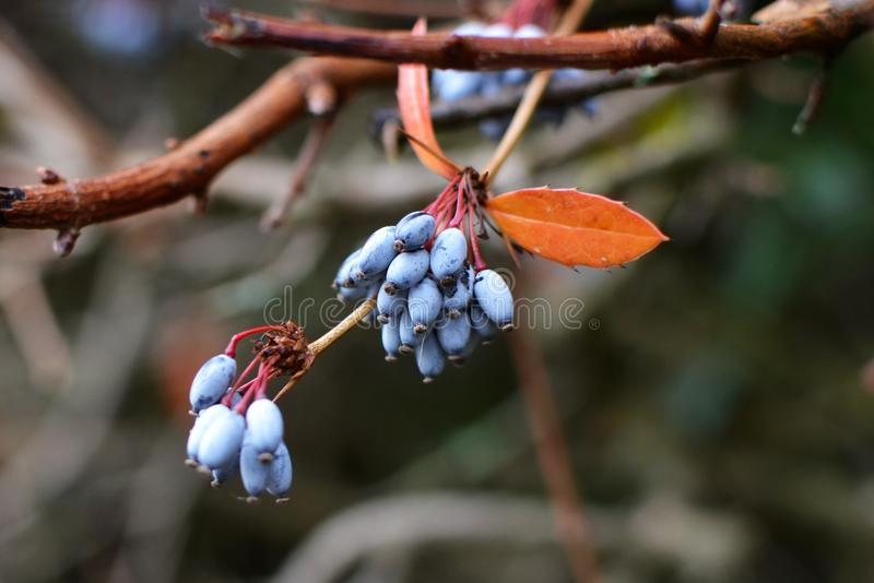 Branch of blue common or European barberry Berberis vulgaris with orange colored leaf in autumn royalty free stock image
