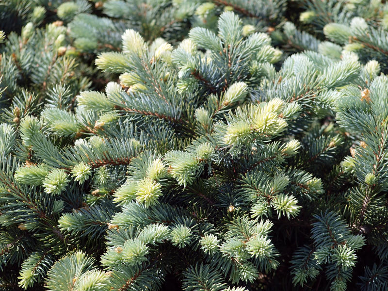 Download Branch of blue spruce stock photo. Image of botany, tree - 14617868