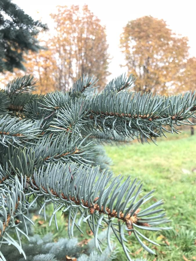 Branch of blue spruce against the background of yellowed autumn trees stock photo