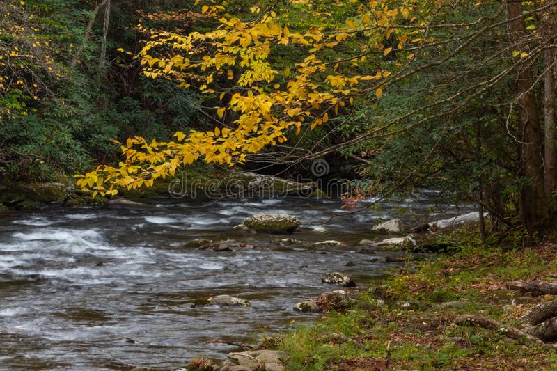 Branch of bright yellow autumn leaves hanging over a moving stream with rhododendrons and rocks royalty free stock photo