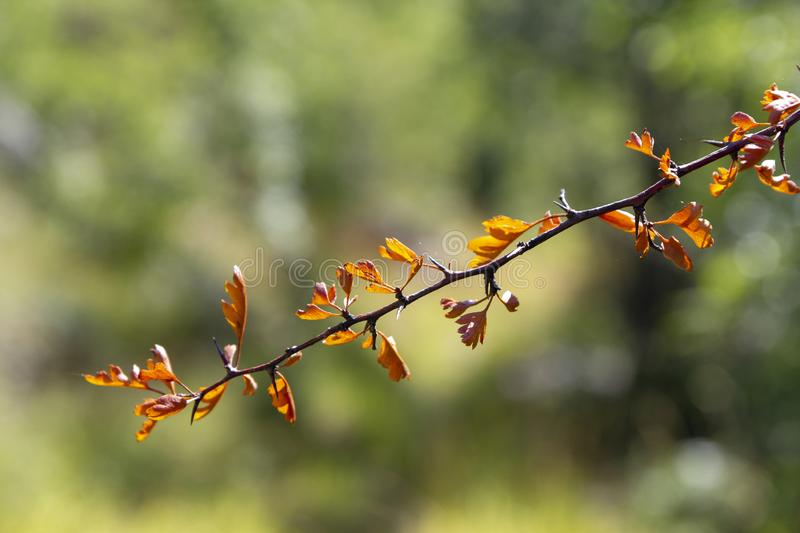 Branch with brown leaves stock image