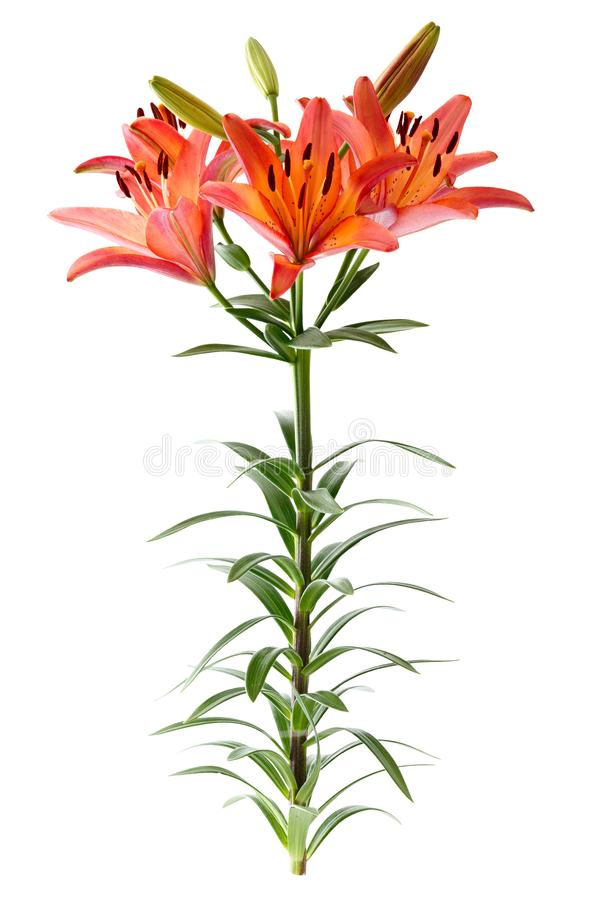 Branch with bud blooming lily flower isolated on white background.  royalty free stock photo