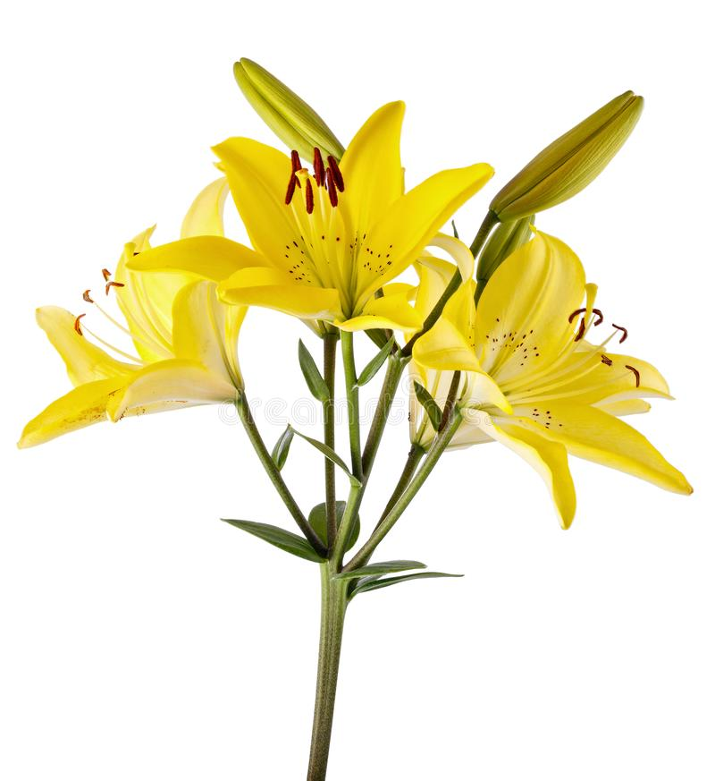 Branch with bud blooming lily flower isolated on white background.  royalty free stock photos