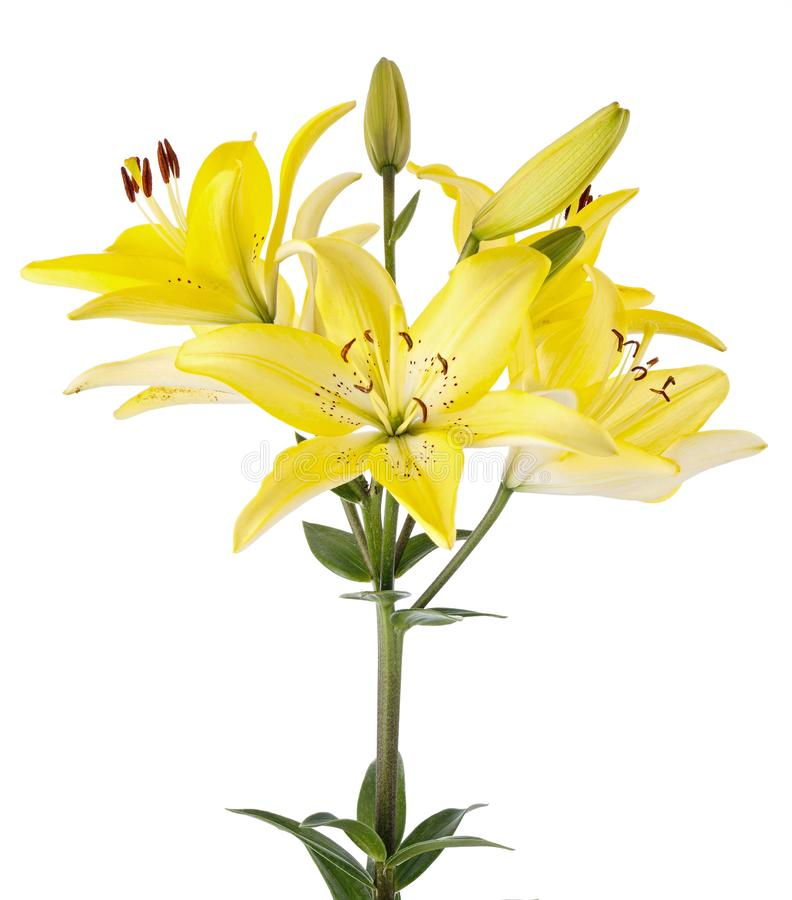 Branch with bud blooming lily flower isolated on white background.  royalty free stock photography