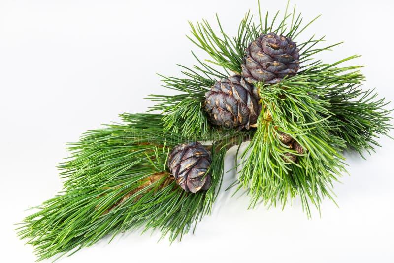 Branch cedar nuts stock image
