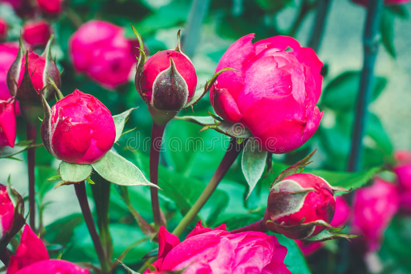 Branch of centifolia rose with foliage. Natural flower. Soft focus. Blossoming rose buds royalty free stock photo