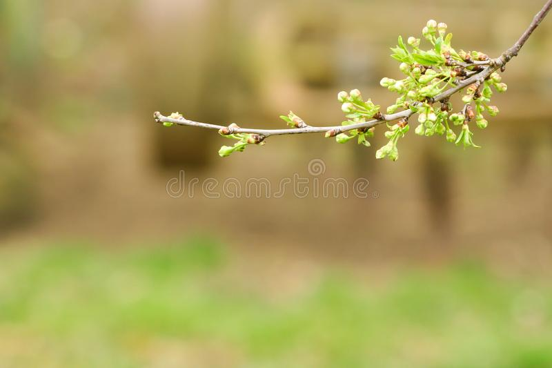 Branch of cherries on a green background. The first days of spring. Flowers appear and begin to flourish royalty free stock photography