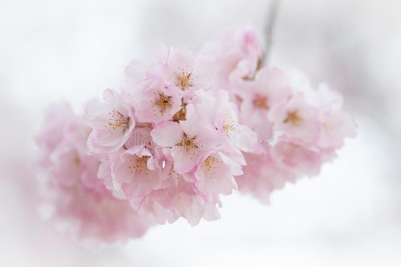 Cherry Blossoms in Pink stock photos