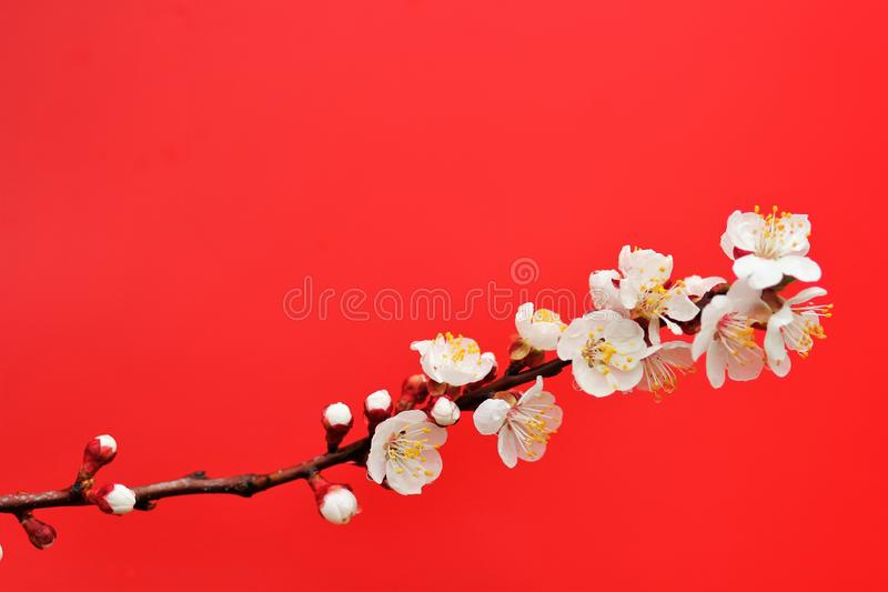 A branch of cherry blossom tree isolated on red with negative space. A branch of cherry blossom tree isolated on red background with negative space royalty free stock photo