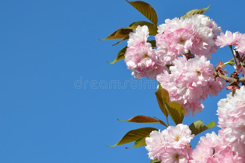 Branch of pink cherry blossoms against the blue sky. Flowering garden. Spring Sakura in bloom royalty free stock photography