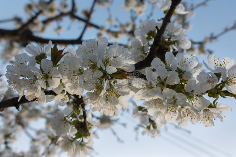 Branch with cherry blossoms blooming stock photography
