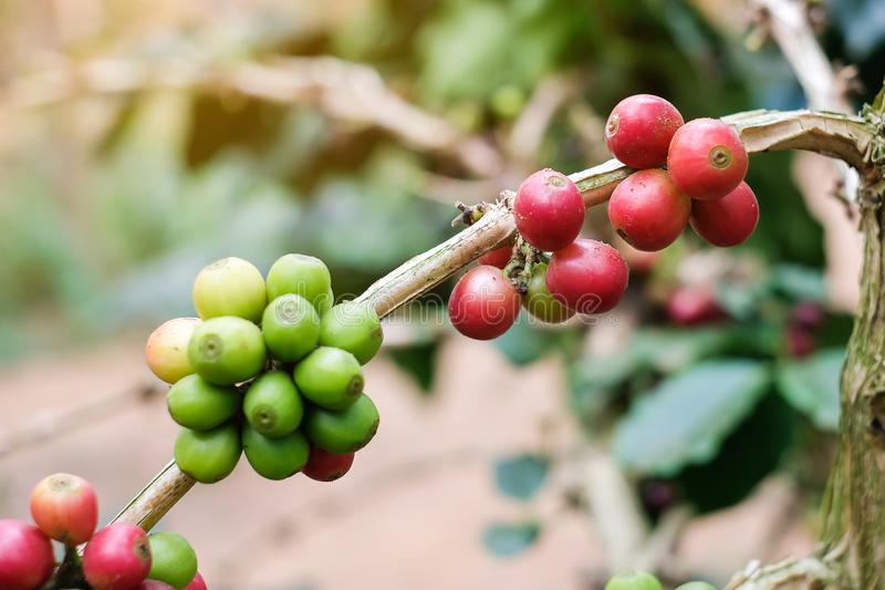 Branch of cherry Coffee, red or ripe and green bean arabica berries. Harvesting, agriculture, plantation concepts royalty free stock photography