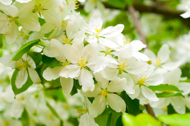 Branch with cherry flowers over green background stock images