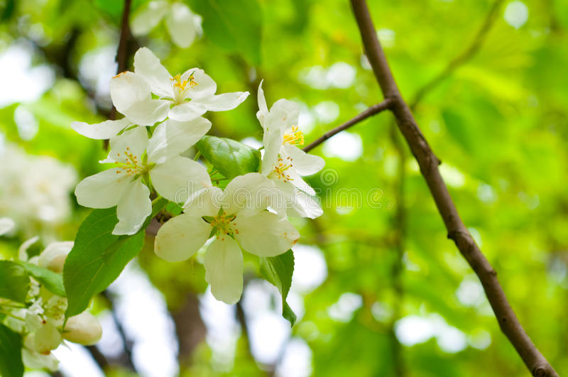 Branch with cherry flowers over green background royalty free stock photo