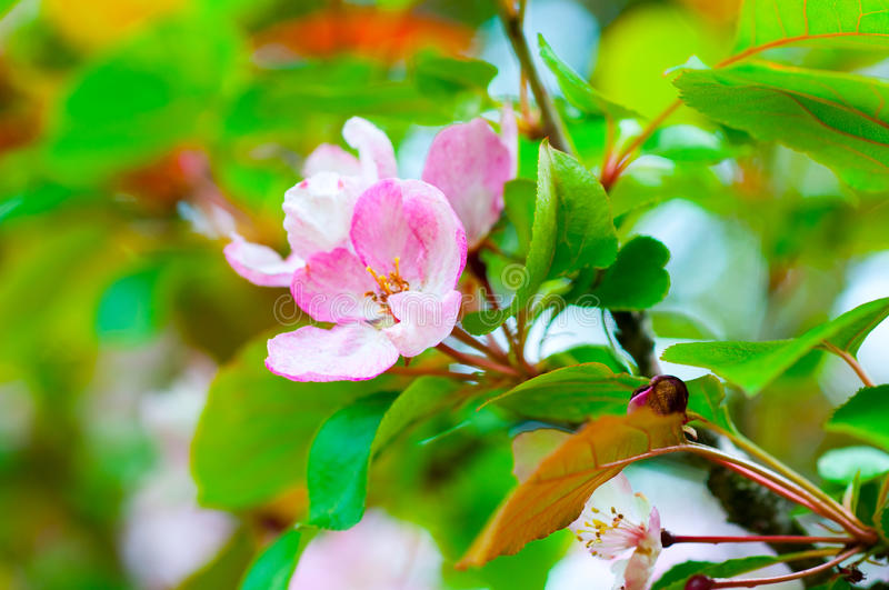 Branch with cherry flowers over green background stock image