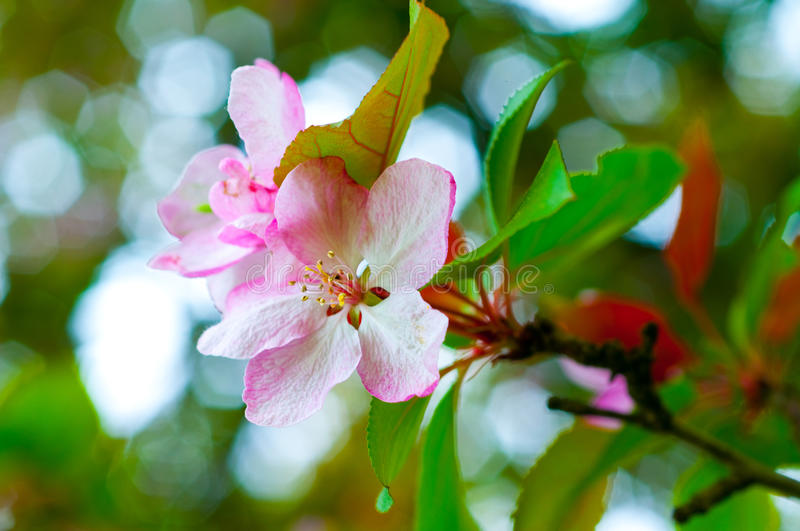 Branch with cherry flowers over green background stock photos