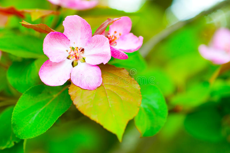 Branch with cherry flowers over green background royalty free stock image