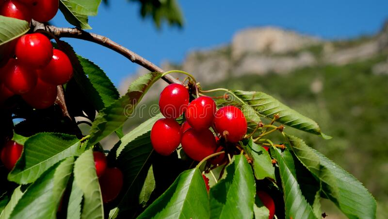 Branch of cherry fruit royalty free stock photography