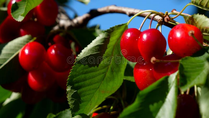 Branch of cherry fruit royalty free stock photos