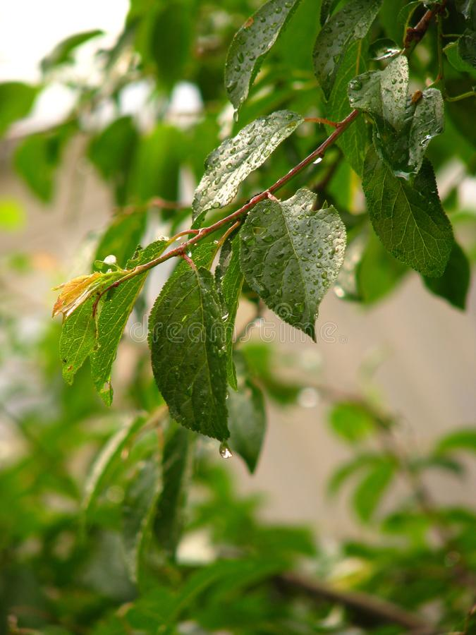 A branch of cherry plum in the rain. Green leaves in raindrops. Branch cherry plum close-up. Wet leaves sparkle.n royalty free stock images