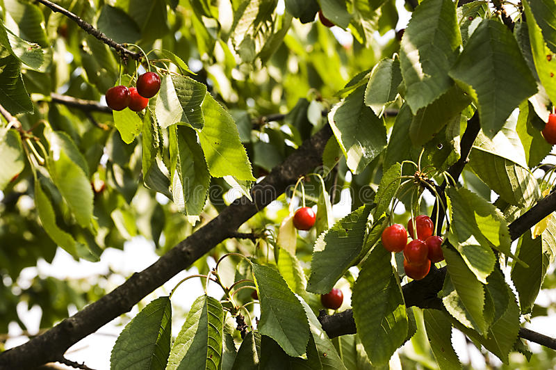 Branch of a cherry tree stock image