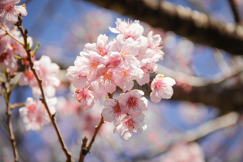 A branch of  Cherry tree stock photo