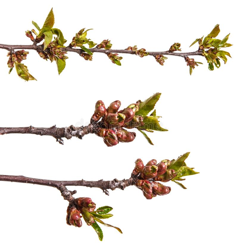 Branch of a cherry tree with small buds. Isolated on white. Set. Branch of a cherry tree with small buds. Isolated on white background. Set royalty free stock photo