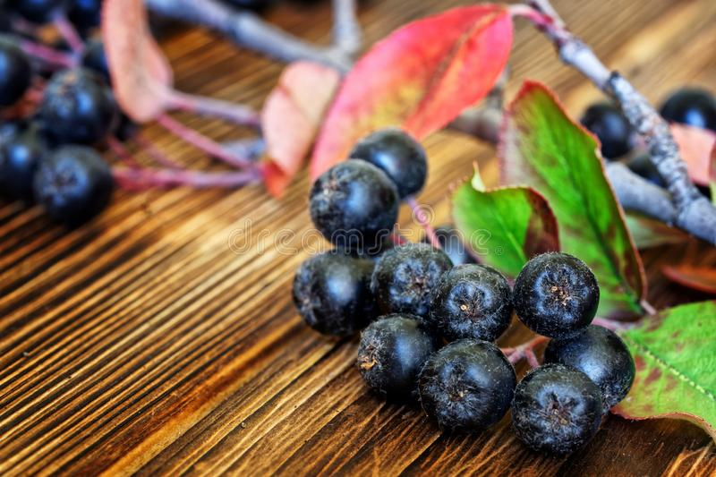 A branch of chokeberry with leaves and clusters of berries lies on a wooden counter during a farmer`s fair. New crop. Close-up. stock photo