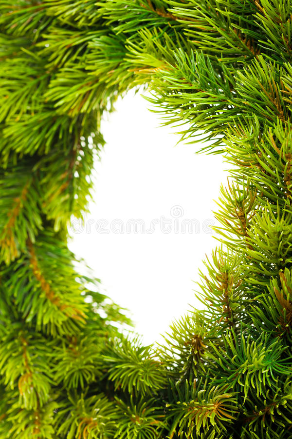 Branch of Christmas tree stock image