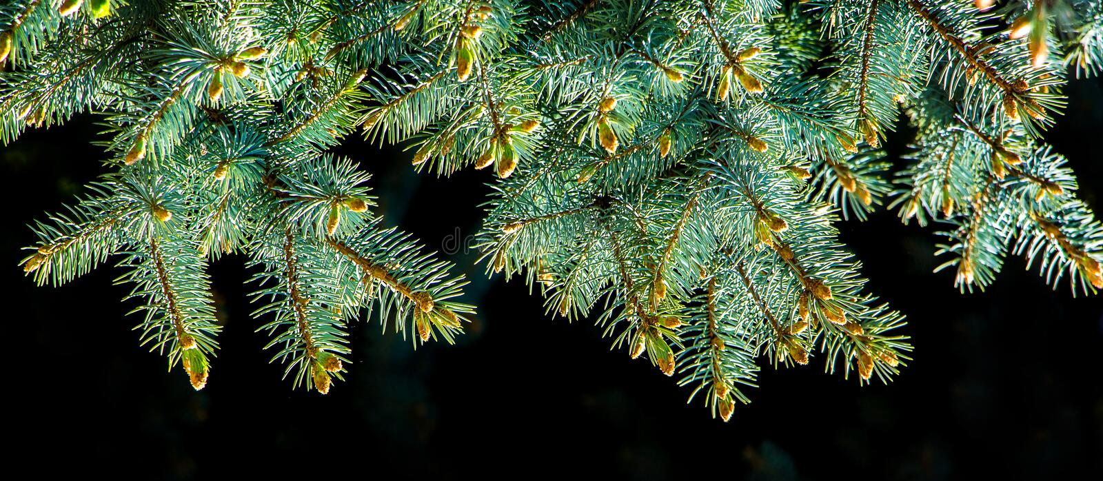 Branch of Christmas tree with fresh green needles on black isolated background_ royalty free stock photos
