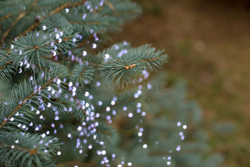 Branch of the Christmas tree in nature with bokeh lights and blurry lights. Branch of the Christmas tree in nature fresh green fragrant with bokeh lights and stock images