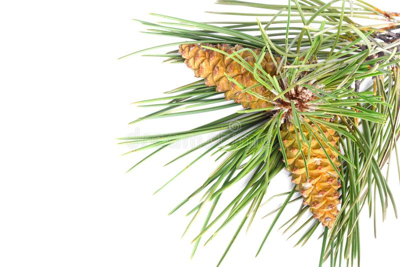 Branch of Christmas tree and pine cones covered with snow on isolated background stock images