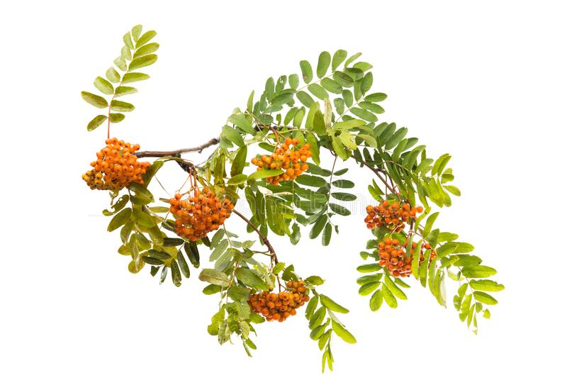 Branch with clusters of mountain ash isolated. On white background stock images