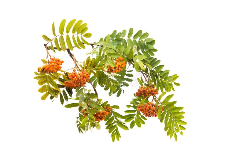 Branch with clusters of mountain ash isolated. On white background royalty free stock images