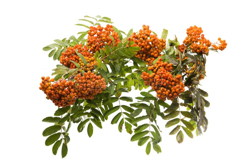 Branch with clusters of mountain ash isolated. On white background stock image