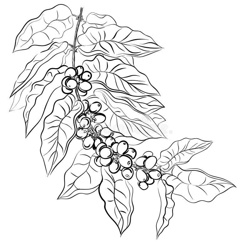 branch of coffee vector illustration