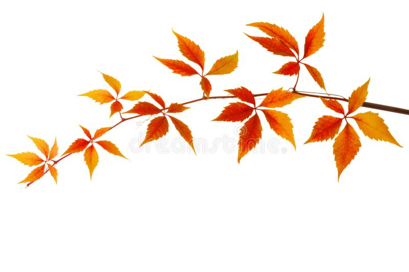 Branch of colorful autumn leaves isolated on a white background. Virginia creeper royalty free stock images