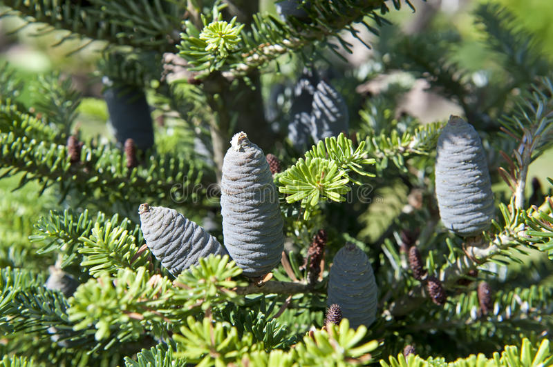 Branch With Cones Stock Photography