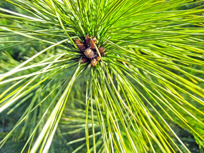 Branch a coniferous tree with bunches of deciduous bright green needles with small cones stock photo