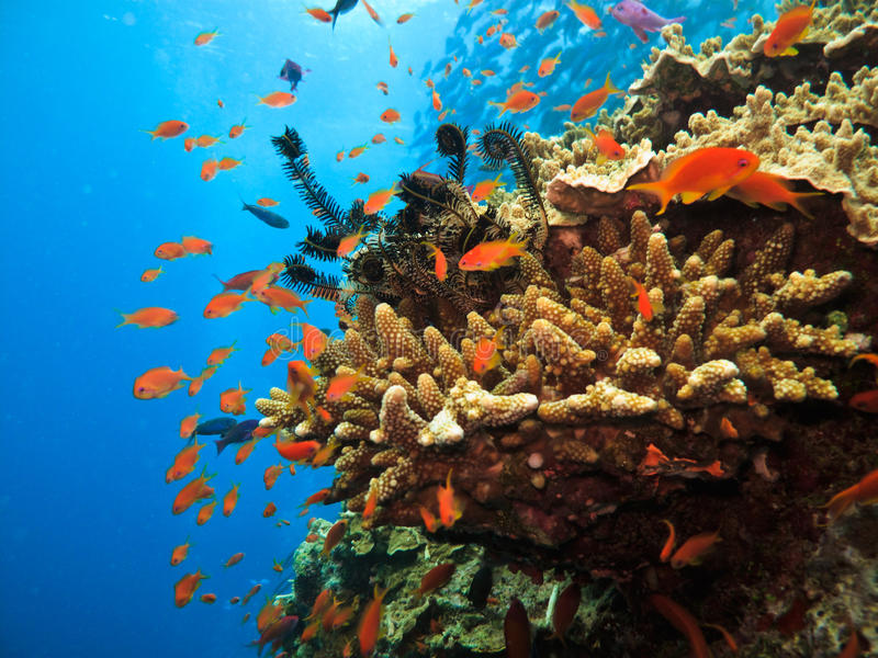 Branch Coral and Clown Fish on Reef stock images