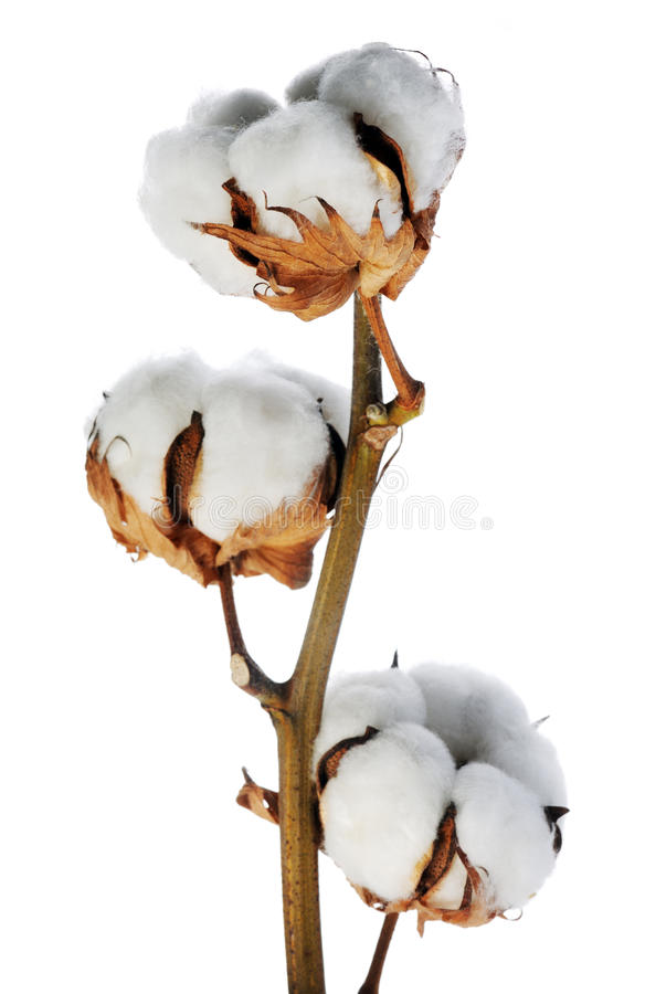 Branch of cotton royalty free stock photography