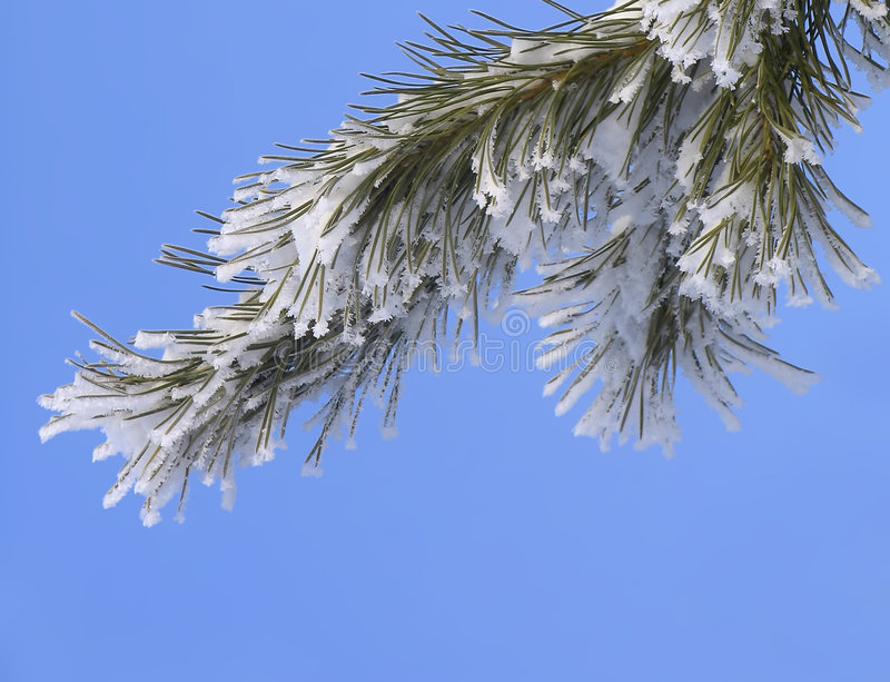 Branch covered with hoar-frost. Branch of Pinus silvestris covered with hoar-frost stock photography