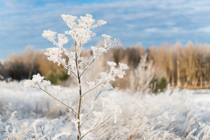 A branch covered with hoarfrost on the background of a forest royalty free stock images