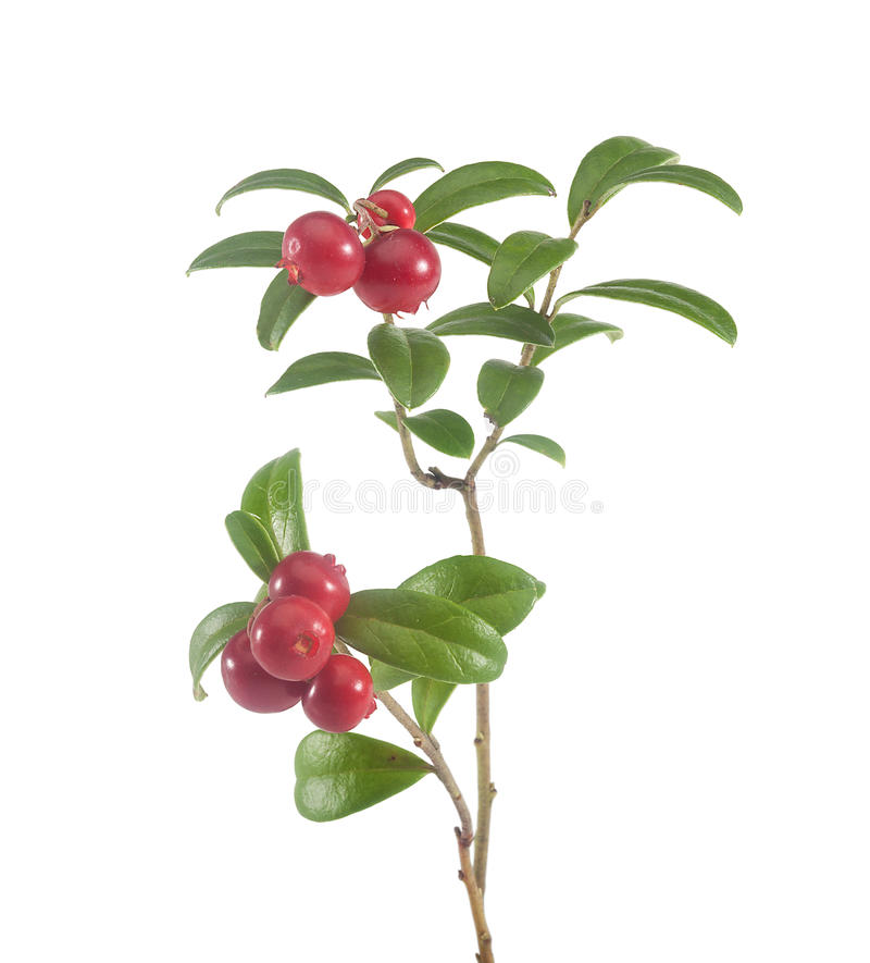 Branch of cowberry. Isolated branch of red cowberry on the white stock photo