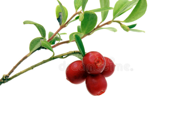 Branch of cowberry. Branch of ripe red cowberry on white background royalty free stock photos