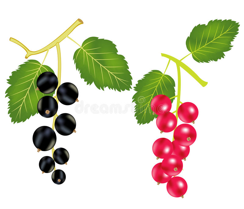 Branch Of The Currant And Wood Sorrels Royalty Free Stock Image