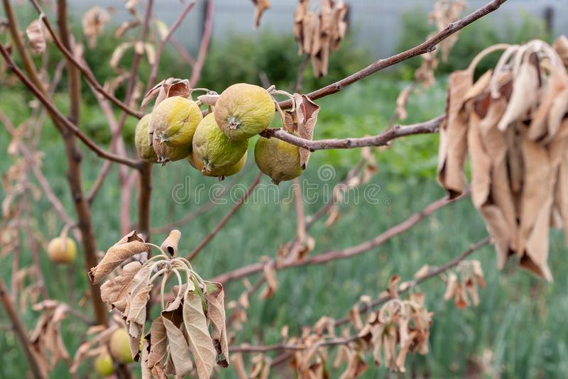 Branch of a dead Apple tree with dried apples. Diseases of trees royalty free stock photography