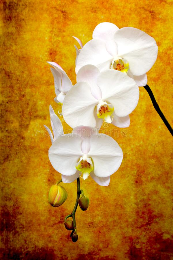 Branch of delicate white phalaenopsis orchids on abstract grunge background royalty free stock photos
