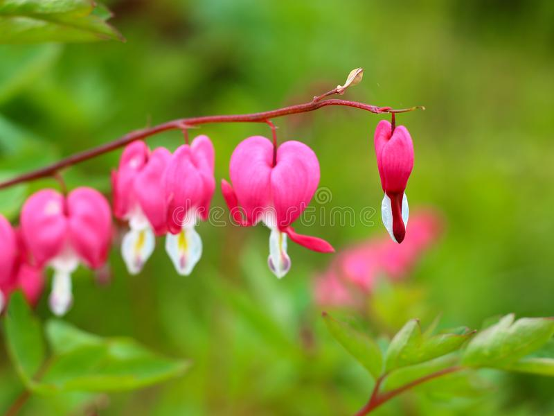 Branch of Dicentra spectabilis flowers. Pink Asian bleeding-heart Lamprocapnos spectabilis flowers or lyre flower or Lady-in-a-bath hanging in a line on blur royalty free stock image