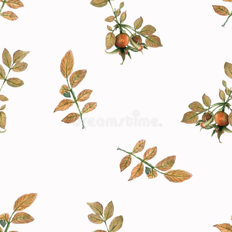 Pattern of A branch Dog rose Briar with berries and green leaves. Hand drawn watercolor painting on white vector illustration